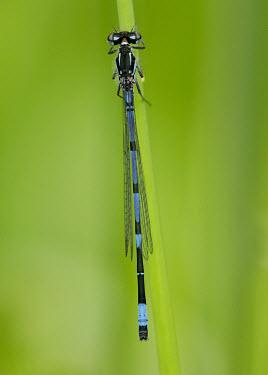 Variable bluet - UK Variable bluet,Variable damselfly,damselfly,Animalia,Arthropoda,Insecta,Odonata,Coenagrionidae,Coenagrion pulchellum