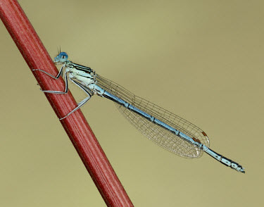 Blue featherleg - UK White-legged damselfly,Blue featherleg,Animalia,Arthropoda,Insecta,Odonata,Platycnemididae,Platycnemis pennipes