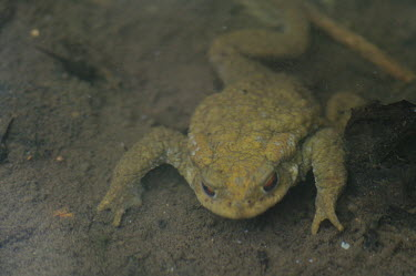 Common toad - Catalonia Common toad,Bufo bufo,Chordates,Chordata,Anura,Frogs and Toads,Bufonidae,Toads,Amphibians,Amphibia,Crapaud Commun,Sapo Com�n,Crapaud Vulgaire,Aquatic,Carnivorous,Species of Conservation Concern,Wildli