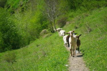 Wild goats - Catalonia Wild goat,Capra aegagrus,Mammalia,Mammals,Chordates,Chordata,Bovidae,Bison, Cattle, Sheep, Goats, Antelopes,Ch�vre �gagre,Scrub,aegagrus,Asia,Europe,Temperate,Capra,Cetartiodactyla,Vulnerable,Animalia