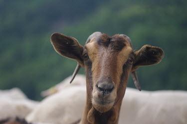 Wild goat - Catalonia Wild goat,Capra aegagrus,Mammalia,Mammals,Chordates,Chordata,Bovidae,Bison, Cattle, Sheep, Goats, Antelopes,Ch�vre �gagre,Scrub,aegagrus,Asia,Europe,Temperate,Capra,Cetartiodactyla,Vulnerable,Animalia