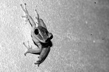 Frog - Sarawak, Malaysia frog,frogs,amphibian,amphibians,Animalia,Chordata,Amphibia,Anura