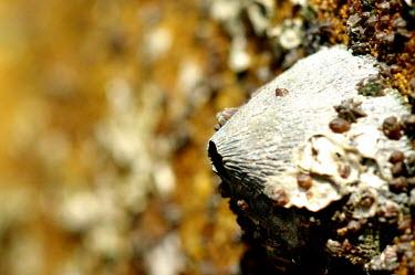 Barnacle - Sarawak, Malaysia exoskeleton,Sea,seas,environment,ecosystem,Habitat,Close up,saltwater,Marine,saline,shell,Aquatic,water,water body,shoreline,Shore,sea shore,shoreland,sea side,coast,Coastal,coast line,coastline,Macro