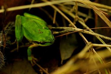 Mediterranean tree frog - Spain Close up,frog,frogs,amphibian,amphibians,Mediterranean tree frog,Hyla meridionalis,Chordates,Chordata,Hylidae,Hylids,Anura,Frogs and Toads,Amphibians,Amphibia,Hyla barytonus,Hyla perezii,Hyla arborea