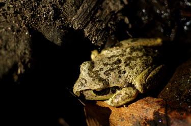 Frog - Australia Close up,frog,frogs,amphibian,amphibians,Animalia,Chordata,Amphibia,Anura