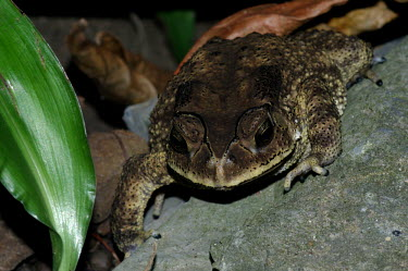 Frog - Vietnam frog,frogs,amphibian,amphibians,Animalia,Chordata,Amphibia,Anura