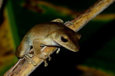 Frog - Vietnam Close up,frog,frogs,amphibian,amphibians,Animalia,Chordata,Amphibia,Anura