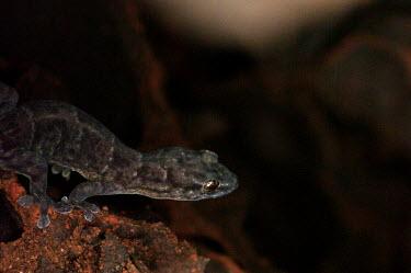 Gecko - Australia Cyrtodactylus,Gecko,Cyrtodactylus fraenatus,Squamata,Lizards and Snakes,Reptilia,Reptiles,Gekkonidae,Geckos,Chordates,Chordata,Gymnodactylus frenatus,Gymnodactylus fraenatus,Cyrtodactylus frenatus,Sri