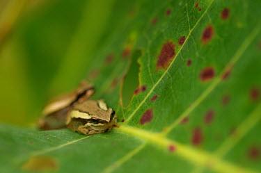 Green reed frog - Australia Green Reed Frog,Northern Dwarf Tree Frog,frog,frogs,Animalia,Chordata,Amphibia,Anura,Hylidae,Litoria bicolor
