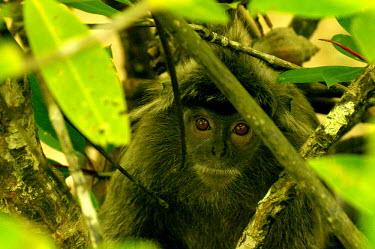 Silvered leaf monkey - Sarawak, Malaysia Silvered leaf monkey,Trachypithecus cristatus,Old World Monkeys,Cercopithecidae,Mammalia,Mammals,Chordates,Chordata,Primates,silvery lutung,Trachypithecus rutledgii,silvered langur,Trachypithecus ulti