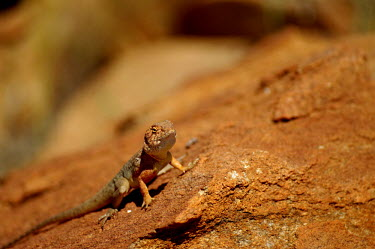 Ring-tailed dragon - Australia Ring-tailed dragon,Ctenophorus caudicinctus,Squamata,Lizards and Snakes,Chordates,Chordata,Reptilia,Reptiles,Agamidae,ring-tailed bicycle-dragon,Amphibolurus imbricatus,Amphibolurus caudicinctus,Gramm