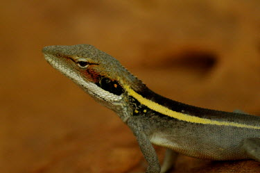 Long-snouted lashtail - Australia Long-nosed Water Dragon,Long-snouted Lashtail,Animalia,Chordata,Reptilia,Squamata Agamidae,Lophognathus longirostris,Gowidon longirostris,reptile,lizards,lizard,Long-snouted lashtail