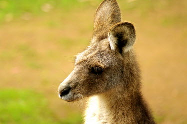 Eastern grey kangaroo - Australia coat,furry,pelt,Fur,furs,Portrait,face picture,face shot,Facial portrait,face,Endemism,Endemic,Eastern grey kangaroo,Macropus giganteus,Kangaroos and Wallabies,Macropodidae,Chordates,Chordata,Diprotod