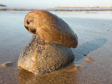 Sea snail - Morocco shell,exoskeleton,Sandy shore,shoreline,Shore,sea shore,shoreland,sea side,Aquatic,water,water body,beaches,Beach,coast,Coastal,coast line,coastline,environment,ecosystem,Habitat,Sea snail,Animalia,Mo