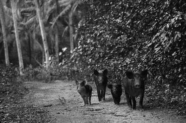 Pigs - Cook Islands Animalia,Chordata,Mammalia,Cetartiodactyla,Suidae,Sus scrofa domesticus,Sus domesticus,domestic pig,pig,farm animal,livestock