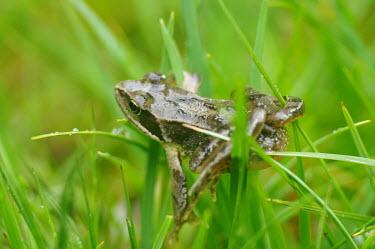 Common frog - Catalonia Common frog,Rana temporaria,Anura,Frogs and Toads,Amphibians,Amphibia,Ranidae,Ranids,Chordates,Chordata,Rana Bermeja,Aquatic,liui,temporaria,Rana,Carnivorous,Ponds and lakes,Terrestrial,Temporary wate