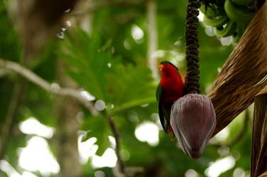 Rimatara lorikeet - Cook Islands forests,Forest,rain forest,tropical rainforest,tropical forest,jungle,Rainforest,jungles,blur,selective focus,blurry,depth of field,Shallow focus,blurred,soft focus,colours,color,colors,Colour,colorat