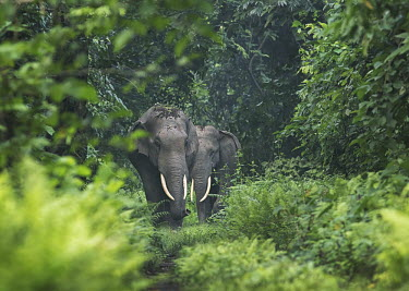 Two male tuskers block the forest road from trespassers - West Bengal environment,ecosystem,Habitat,herds,gamming,Herd,herding,assemble,forests,Forest,guarded,guard,danger,Defensive,defense,protecting,guarding,defence,protective,warn,warning,protect,warns,Tusks,tusk,Jun