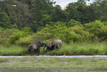 Elephants play fighting by the 'Dima' riverbed during monsoon season - West Bengal elephant,elephants,trunk,trunks,herbivores,herbivore,vertebrate,mammal,mammals,terrestrial,Asian elephant,Elephas maximus,Mammalia,Mammals,Elephants,Elephantidae,Chordates,Chordata,Elephants, Mammoths
