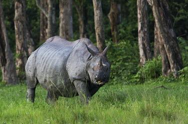 Indian rhinoceros - West Bengal Horn,horns,Terrestrial,ground,forests,Forest,skin,Greenery,foliage,vegetation,environment,ecosystem,Habitat,rhinos,rhino,horn,herbivores,herbivore,vertebrate,mammal,mammals,terrestrial,Indian rhinocer