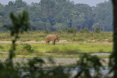 A lone bull with one tusk grazing - West Bengal elephant,elephants,trunk,trunks,herbivores,herbivore,vertebrate,mammal,mammals,terrestrial,Asian elephant,Elephas maximus,Mammalia,Mammals,Elephants,Elephantidae,Chordates,Chordata,Elephants, Mammoths