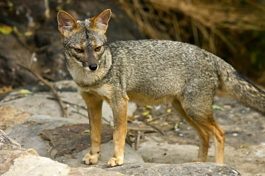 Sechuran fox - Peru Sechuran Fox,Peruvian Desert Fox,Sechuran Desert Fox,Animalia,Chordata,Mammalia,Carnivora,Canidae,Lycalopex sechurae