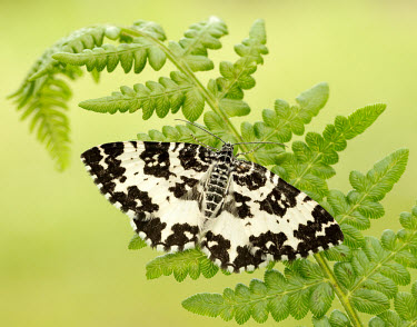 Argent and sable moth Macro,macrophotography,colours,color,colors,Colour,Close up,coloration,Colouration,Black and White,black + white,monochrome,black & white,moth,moths,Argent and sable moth,Rheumaptera hastata,Arthropod