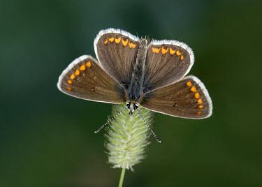 Brown argus Close up,Macro,macrophotography,Animalia,Arthropoda,Insecta,Lepidoptera,Lycaenidae,Aricia,Aricia agestis,Brown argus,butterfly,butterflies