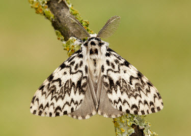 Black arches colours,color,colors,Colour,coloration,Colouration,patterns,patterned,Pattern,Macro,macrophotography,Black and White,black + white,monochrome,black & white,Close up,Black arches,moth,moths,Animalia,Ar