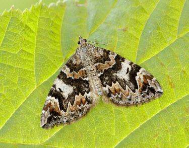 Dark marbled carpet Dark marbled carpet,Northern marbled carpet,moth,moths,Animalia,Arthropoda,Insecta,Lepidoptera,Geometridae,Dysstroma citrata