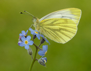 Green-veined white coloration,Colouration,colours,color,colors,Colour,blur,selective focus,blurry,depth of field,Shallow focus,blurred,soft focus,Green,Close up,wings,wing,winged,Macro,macrophotography,butterfly,butterf
