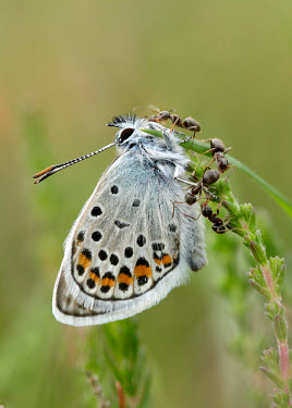 Silver-studded blue Close up,coloration,Colouration,patterns,patterned,Pattern,Macro,macrophotography,spotty,spot,Spots,spotted,blur,selective focus,blurry,depth of field,Shallow focus,blurred,soft focus,Silver-studded b