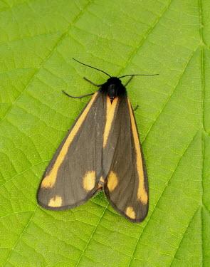 Cinnabar moth moth,moths,Cinnabar moth,Tyria jacobaeae,Insects,Insecta,Arthropoda,Arthropods,Tiger Moths,Arctiidae,Lepidoptera,Butterflies, Skippers, Moths,Animalia,Terrestrial,Fluid-feeding,Herbivorous,Common,Flyi