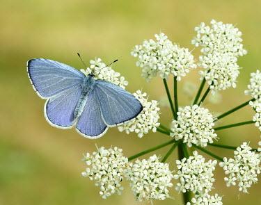 Holly blue colours,color,colors,Colour,Macro,macrophotography,floral,Flower,Grassland,environment,ecosystem,Habitat,azul,Blue,Pollen,pollinium,pollinia,Close up,coloration,Colouration,wildflower meadow,Meadow,Te