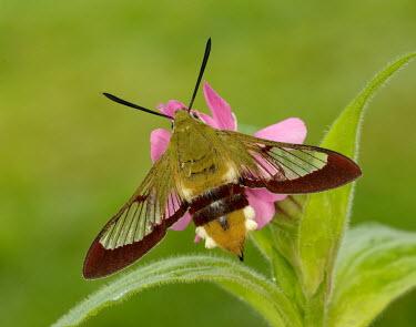 Broad-bordered bee hawk-moth Animalia,Arthropoda,Insecta,Lepidoptera,Sphingidae,Hemaris,Hemaris fuciformis,hawk moth,moth,moths,broad-bordered bee hawk-moth,Broad-bordered bee hawk-moth