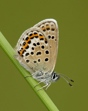 Silver-studded blue Silver-studded blue,Plebeius argus,Lepidoptera,Butterflies, Skippers, Moths,Coppers, Hairstreaks,Lycaenidae,Arthropoda,Arthropods,Insects,Insecta,Animalia,Wildlife and Conservation Act,Temperate,Europ