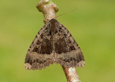 Old lady Old lady,black underwing,Animalia,Arthropoda,Insecta,Lepidoptera,Noctuidae,Mormo,Mormo maura,moth,moths