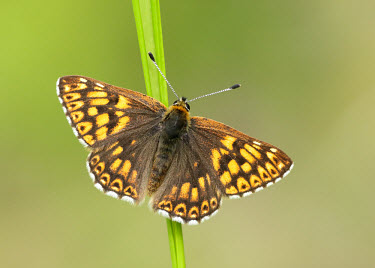 Duke of Burgundy coloration,Colouration,Close up,orange,peach,colours,color,colors,Colour,Macro,macrophotography,butterfly,butterflies,Duke of Burgundy,Hamearis lucina,Riodinidae,Metalmark Butterflies,Insects,Insecta,