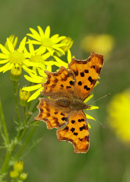 Comma patterns,patterned,Pattern,Close up,Macro,macrophotography,Green background,wings,wing,winged,colours,color,colors,Colour,orange,peach,coloration,Colouration,butterfly,butterflies,Comma,Polygonia c-al