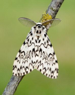 Black arches Black arches,moth,moths,Animalia,Arthropoda,Insecta,Lepidoptera,Noctuidae,Erebidae,Lymantria,Lymantria monacha