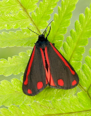 Cinnabar moth Close up,Macro,macrophotography,moth,moths,Cinnabar moth,Tyria jacobaeae,Insects,Insecta,Arthropoda,Arthropods,Tiger Moths,Arctiidae,Lepidoptera,Butterflies, Skippers, Moths,Animalia,Terrestrial,Fluid