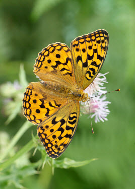 High brown fritillary patterns,patterned,Pattern,orange,peach,coloration,Colouration,Grassland,wildflower meadow,Meadow,Terrestrial,ground,environment,ecosystem,Habitat,colours,color,colors,Colour,Close up,Macro,macrophoto