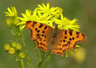 Comma Close up,orange,peach,coloration,Colouration,colours,color,colors,Colour,Macro,macrophotography,butterfly,butterflies,Comma,Polygonia c-album,Insects,Insecta,Nymphalidae,Brush-Footed Butterflies,Arthr