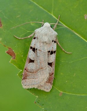 Autumnal rustic Animalia,Arthropoda,Insecta,Lepidoptera,Noctuidae,Eugnorisma,Eugnorisma glareosa,Autumnal rustic,moth,moths