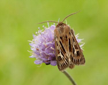 Antler moth Antler moth,Animalia,Arthropoda,Insecta,Lepidoptera,Noctuidae,Cerapteryx,Cerapteryx graminis,moth,moths