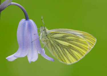 Green-veined white wings,wing,winged,coloration,Colouration,blur,selective focus,blurry,depth of field,Shallow focus,blurred,soft focus,Macro,macrophotography,Green,colours,color,colors,Colour,Close up,butterfly,butterf
