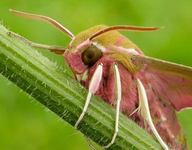 Elephant hawk-moth Elephant hawk-moth,Animalia,Arthropoda,Insecta,Lepidoptera,Sphingidae,Deilephila,Deilephila elpenor,moth,moths,hawk moth