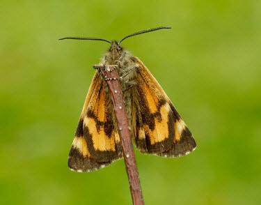 Light orange underwing Light orange underwing,Animalia,Arthropoda,Insecta,Lepidoptera,Geometridae,Archiearis notha,moth,moths