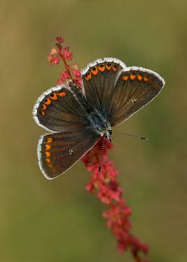 Brown argus Animalia,Arthropoda,Insecta,Lepidoptera,Lycaenidae,Aricia,Aricia agestis,Brown argus,butterfly,butterflies