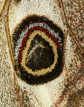 Emperor moth mimic,Mimicry,copy,patterns,patterned,Pattern,scale,scaly,Scales,Close up,Macro,macrophotography,coloration,Colouration,moth,moths,Emperor moth,Saturnia pavonia,Giant Silkworm Moths, Royal Moths,Satur